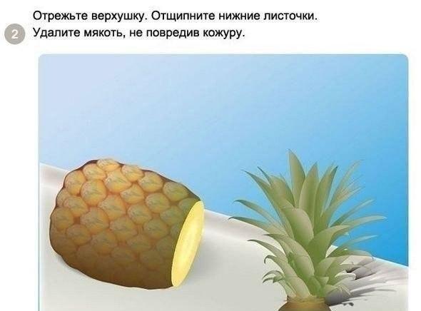 выращиваем ананас2