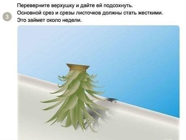 выращиваем ананас3
