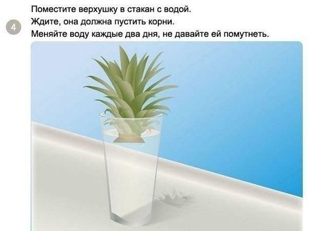 выращиваем ананас4