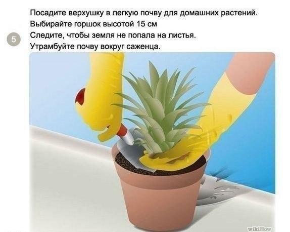 выращиваем ананас5