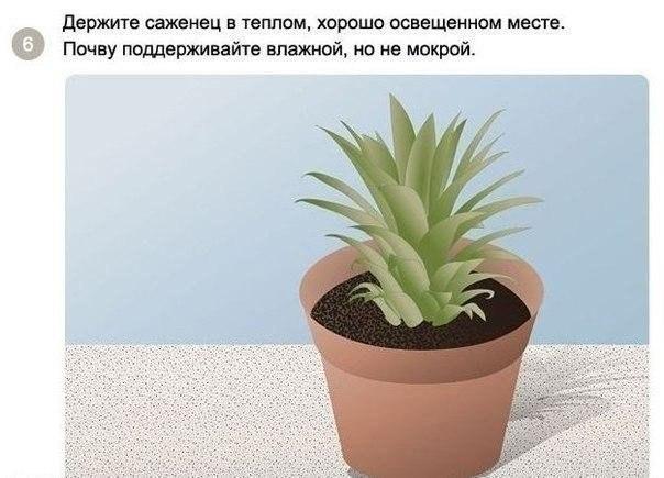 выращиваем ананас6