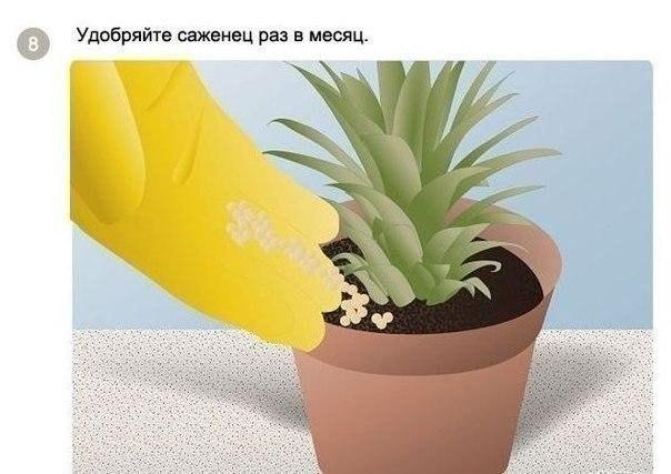 выращиваем ананас8