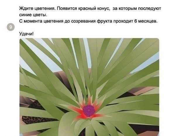 выращиваем ананас9