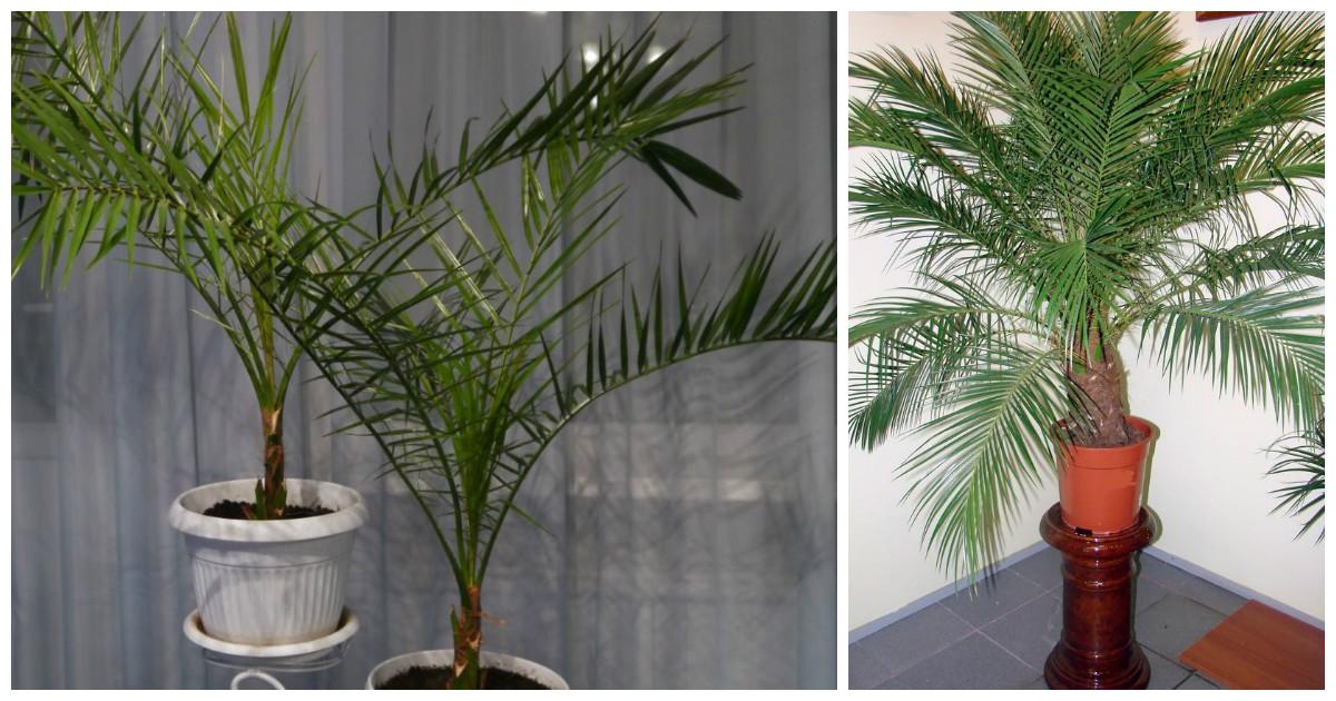 Пальма выращенная из финиковой косточки в домашних условиях 289