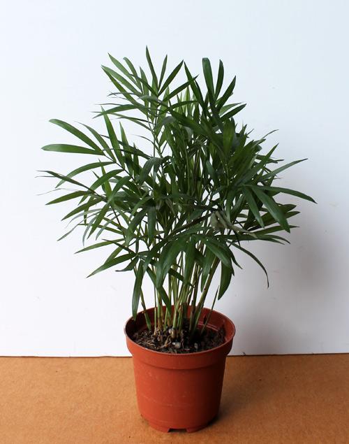 5Бамбуковая пальма
